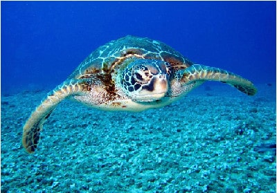 tortues de Guadeloupe